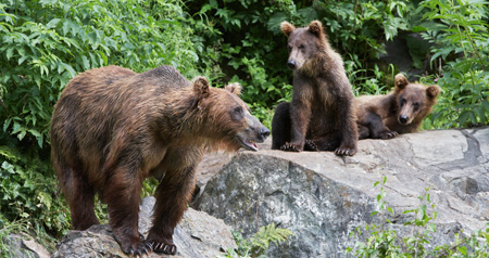 grizzly-bear-w_cubs(web)